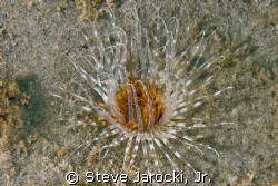 Interesting Sea Anemone photographed in South Florida by Steve Jarocki, Jr. 